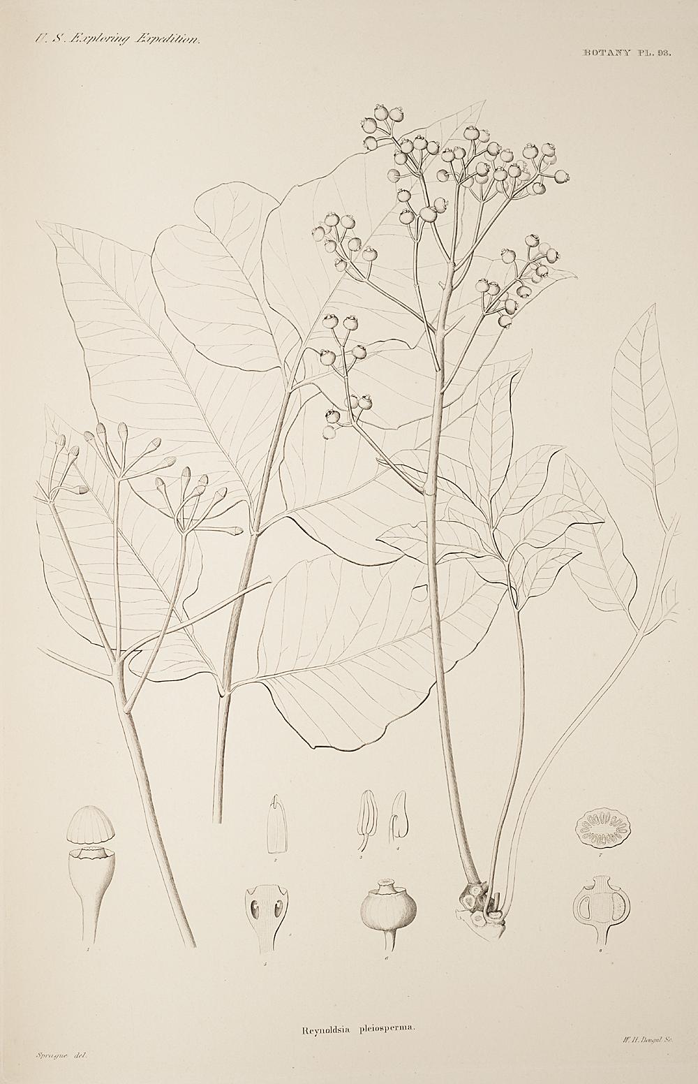 Botany, Pl. 93,  Image number:sil19-23-197b