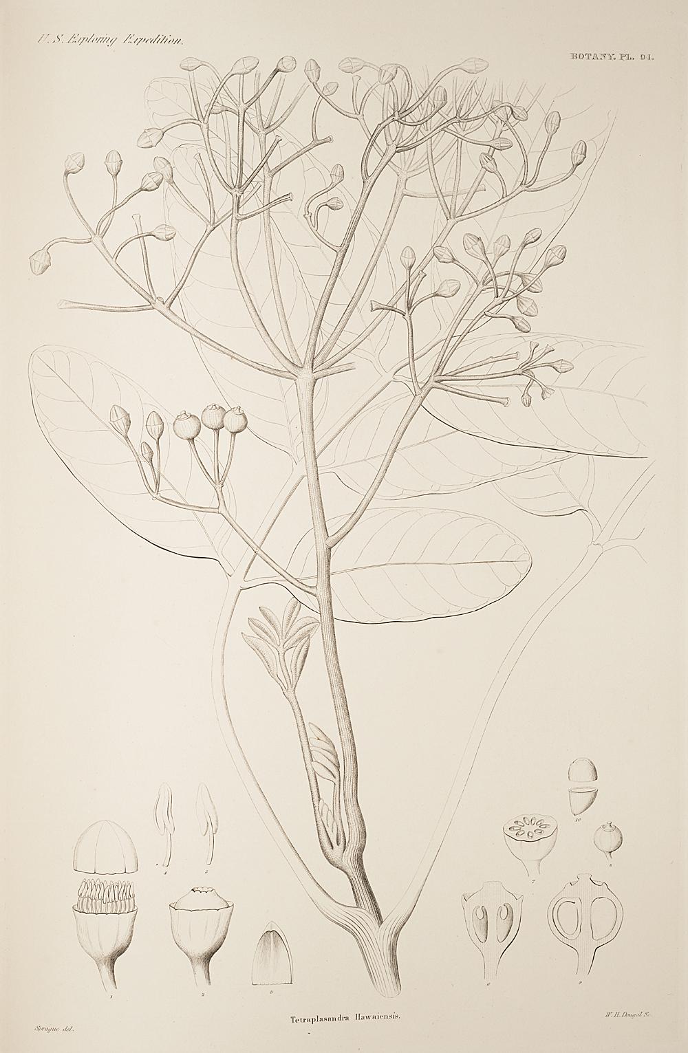 Botany, Pl. 94,  Image number:sil19-23-199b