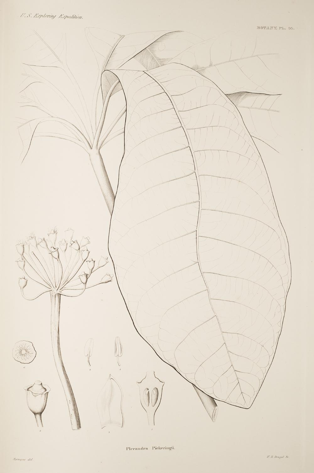 Botany, Pl. 95,  Image number:sil19-23-201b