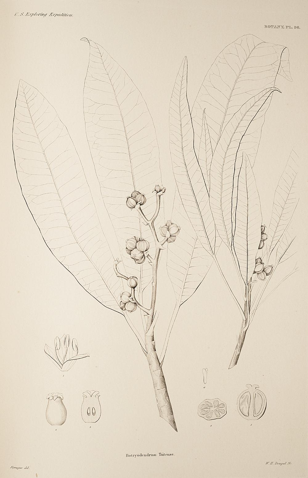Botany, Pl. 96,  Image number:sil19-23-203b