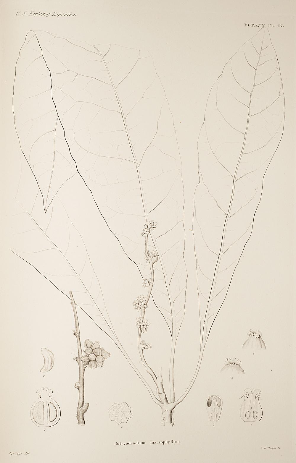 Botany, Pl. 97,  Image number:sil19-23-205b