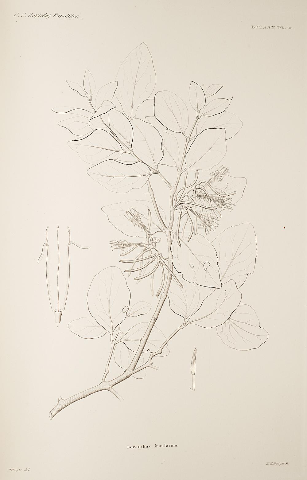 Botany, Pl. 98,  Image number:sil19-23-207b