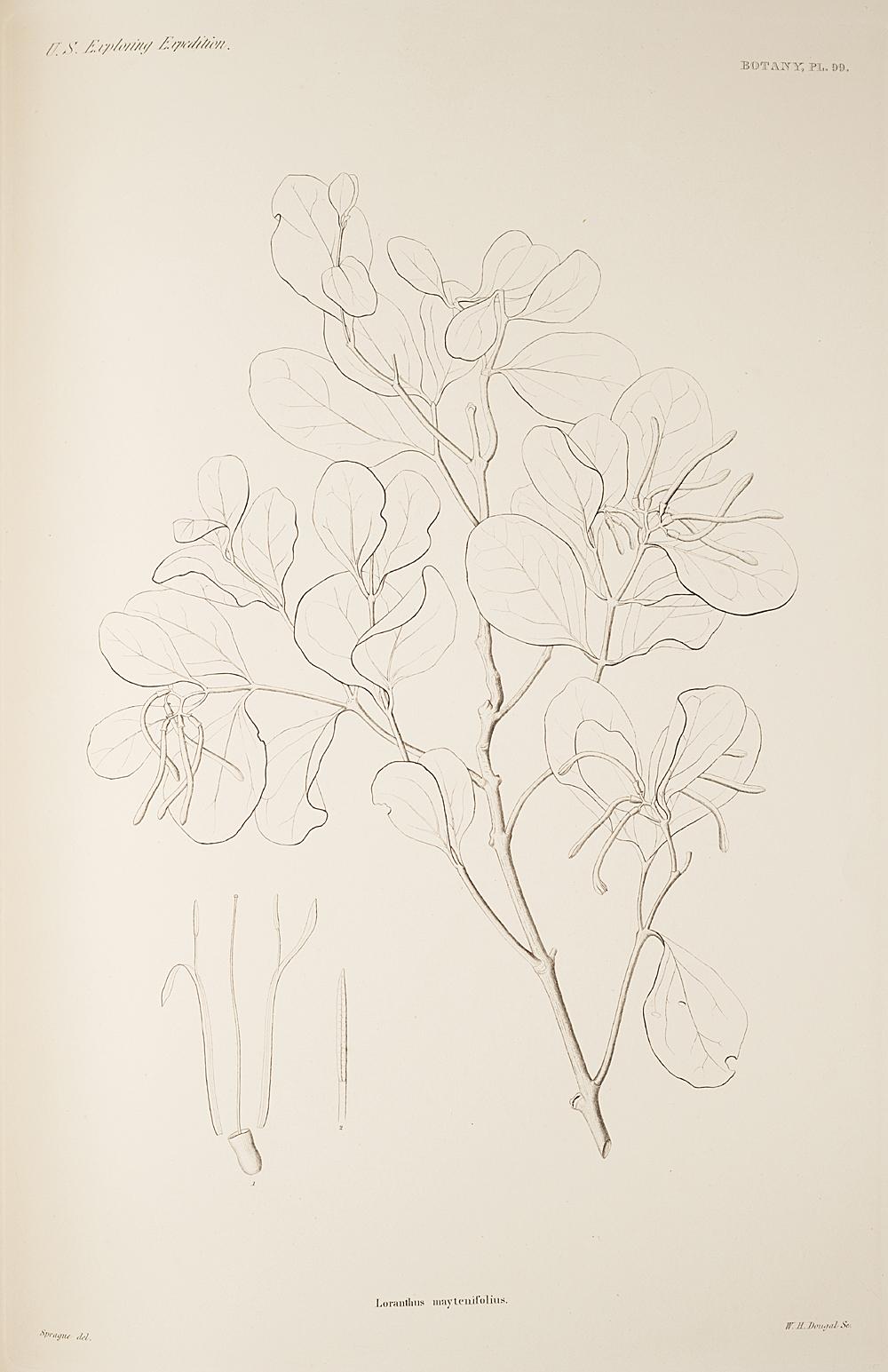 Botany, Pl. 99,  Image number:sil19-23-209b