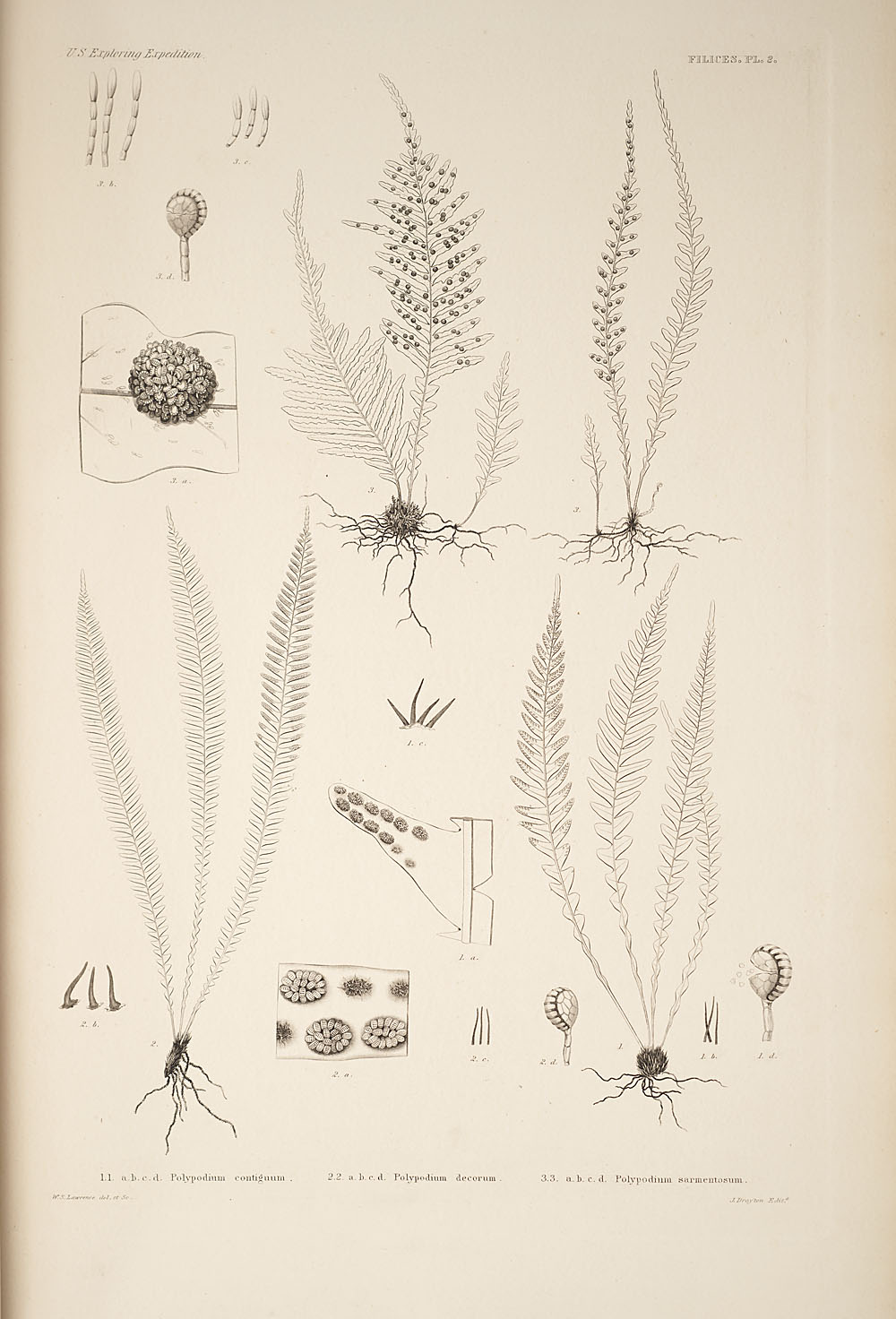 Three figures of genus Polypodium,  Image number:SIL19-24a-014