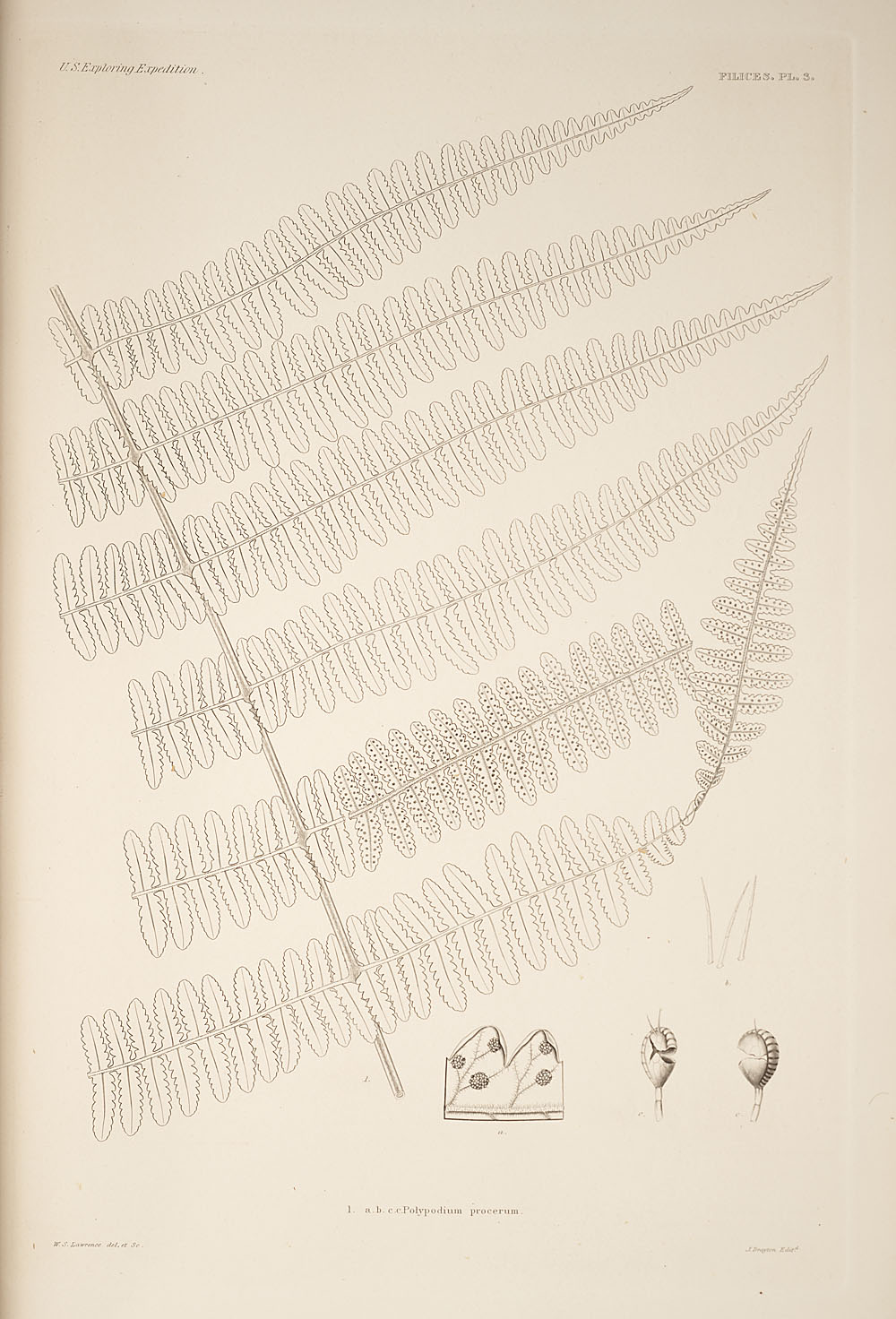 Fig. 1. Polypodium procerum,  Image number:SIL19-24a-015