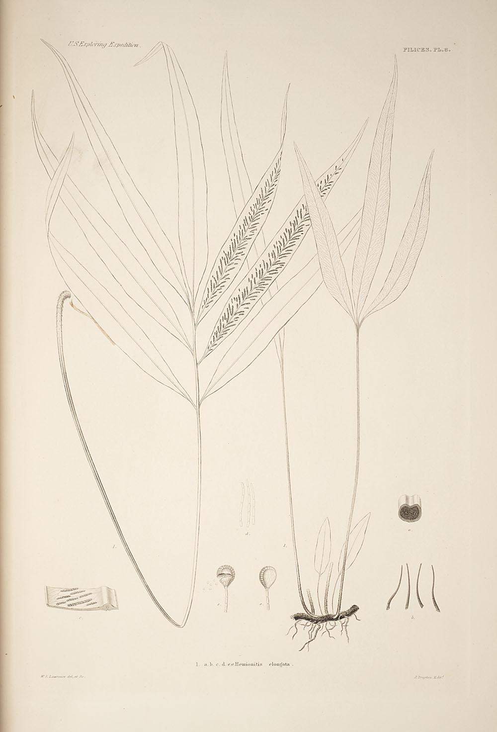Fig. 1. Hemionitis elongata,  Image number:SIL19-24a-020