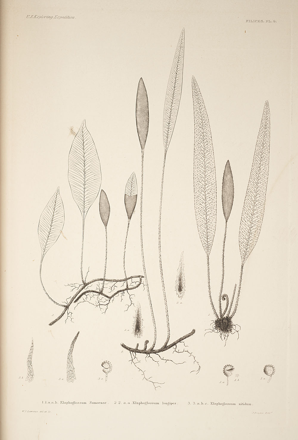 Three figures of genus Elaphoglossum,  Image number:SIL19-24a-021