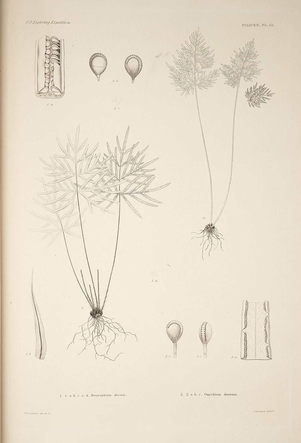 Two figures of genera Doryopteris and Onychium,  Image number:SIL19-24a-025