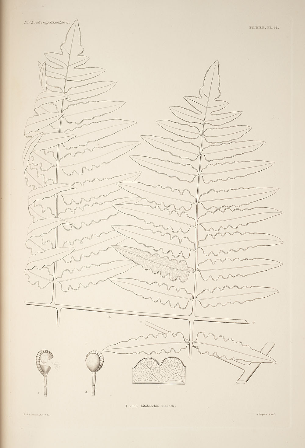 Fig. 1. Litrobrochia sinuata,  Image number:SIL19-24a-026