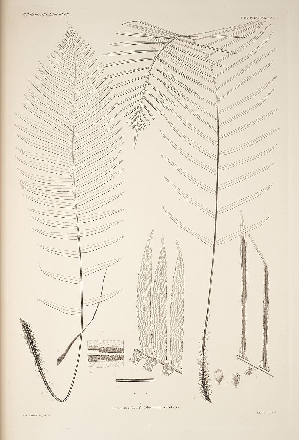 Fig. 1. Blechnum vittatum,  Image number:SIL19-24a-028