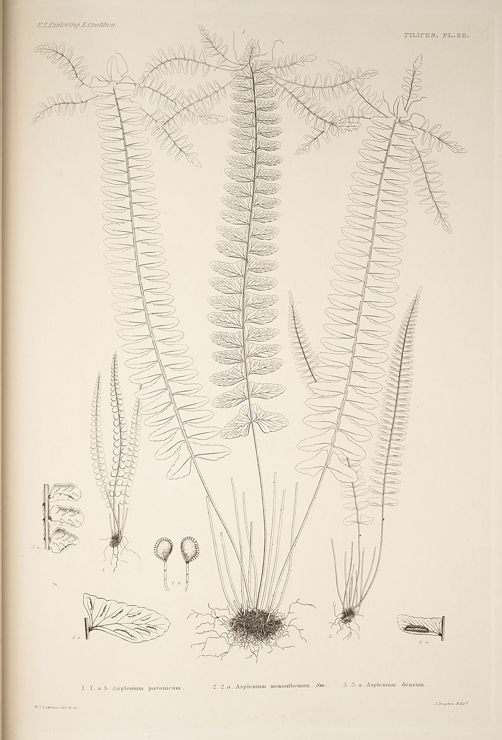 Three figures of genus Asplenium,  Image number:SIL19-24a-032