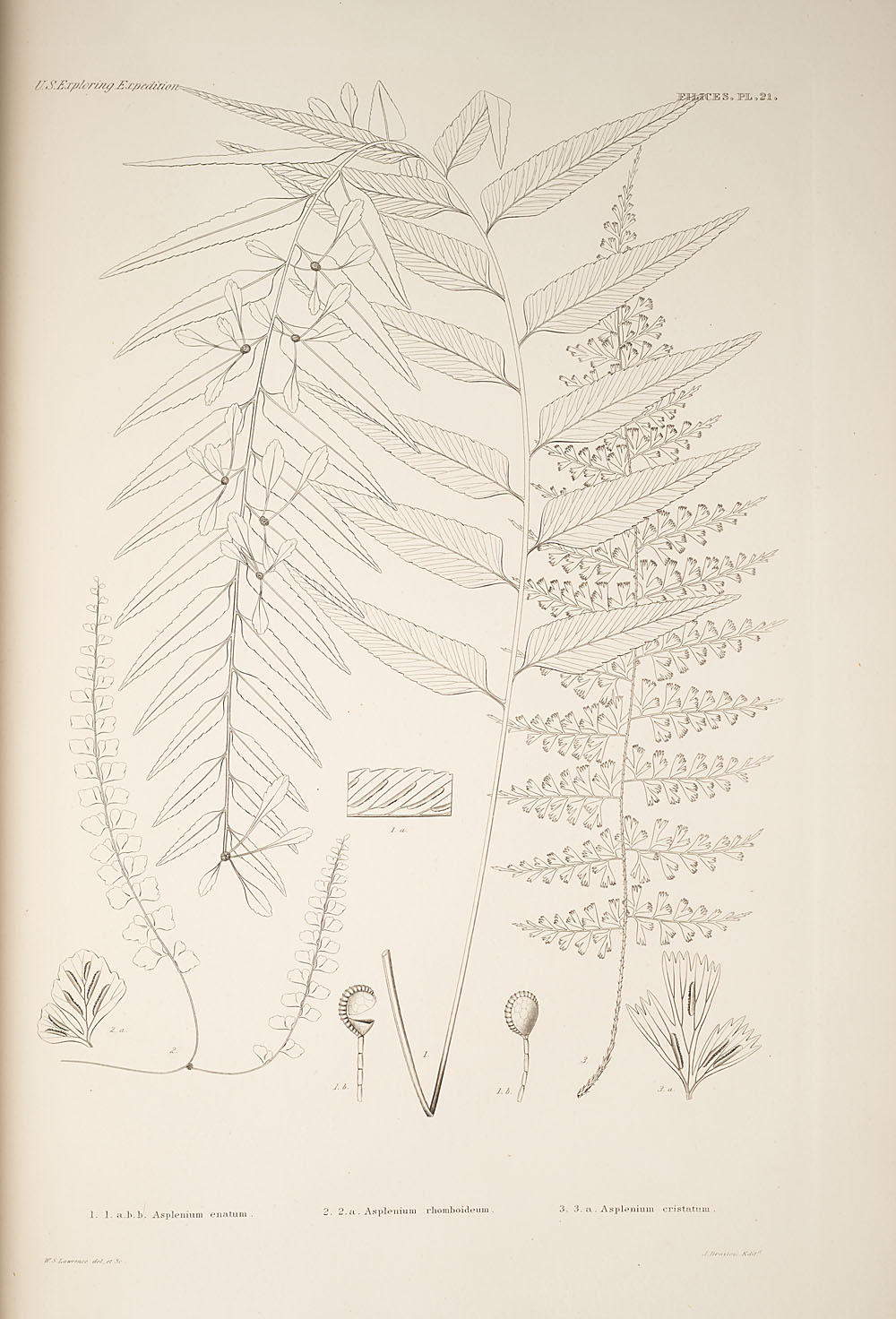Three figures of genus Asplenium,  Image number:SIL19-24a-033