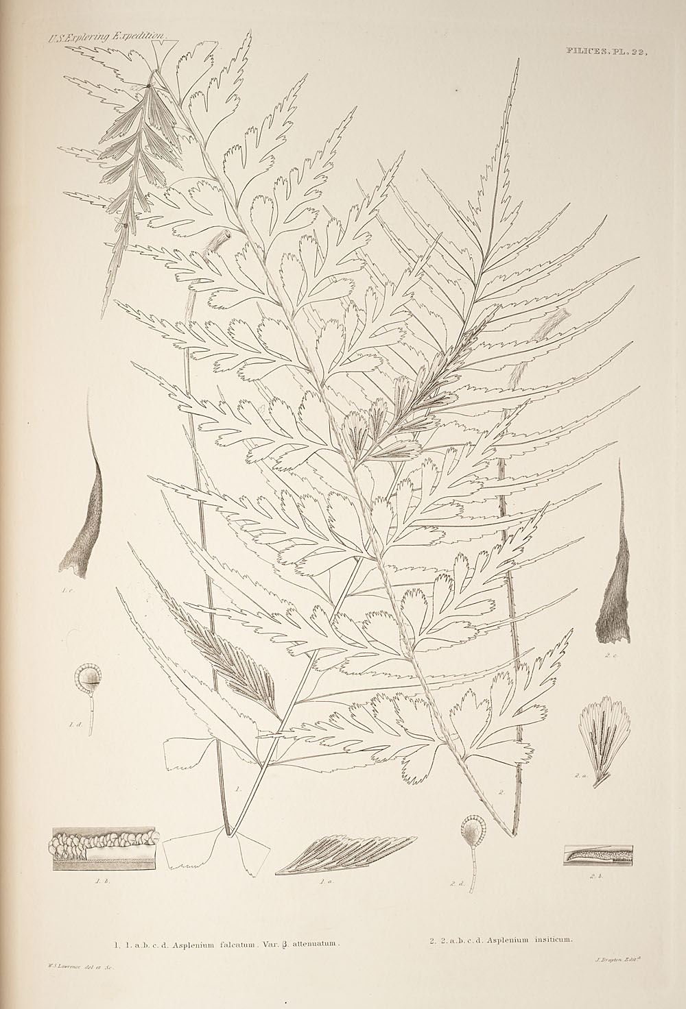 Two figures of genus Asplenium,  Image number:SIL19-24a-034