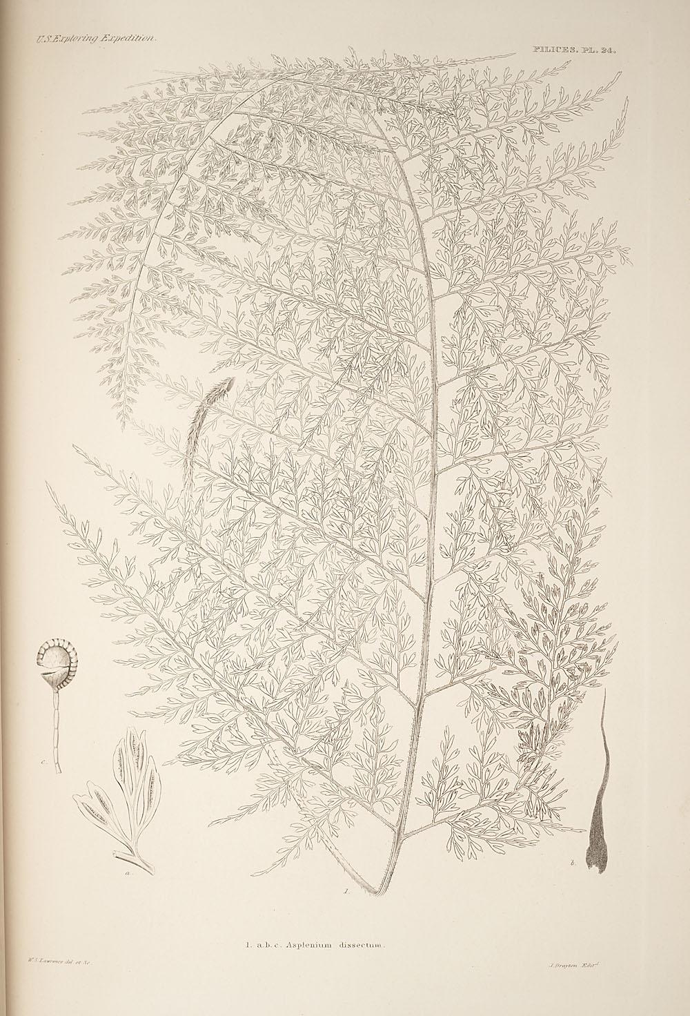 Fig. 1. Asplenium dissectum,  Image number:SIL19-24a-036