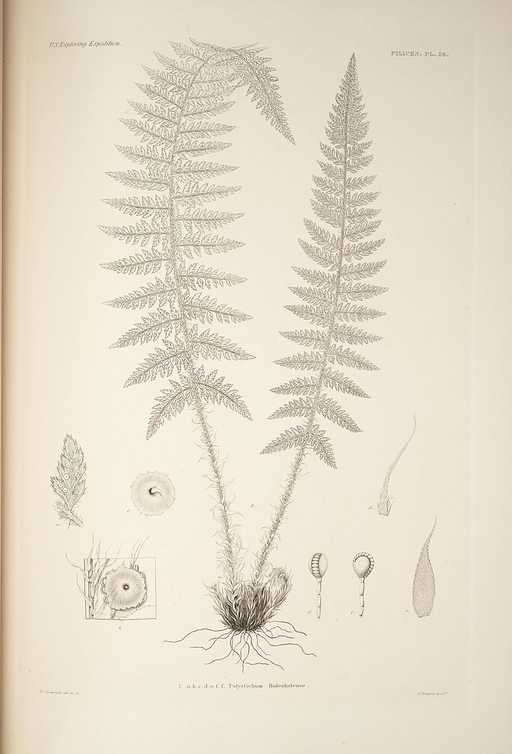 Fig. 1. Polystichum haleakalense,  Image number:SIL19-24a-040