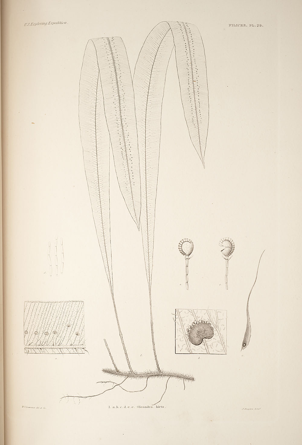 Fig. 1. Oleandra hirta,  Image number:SIL19-24a-041