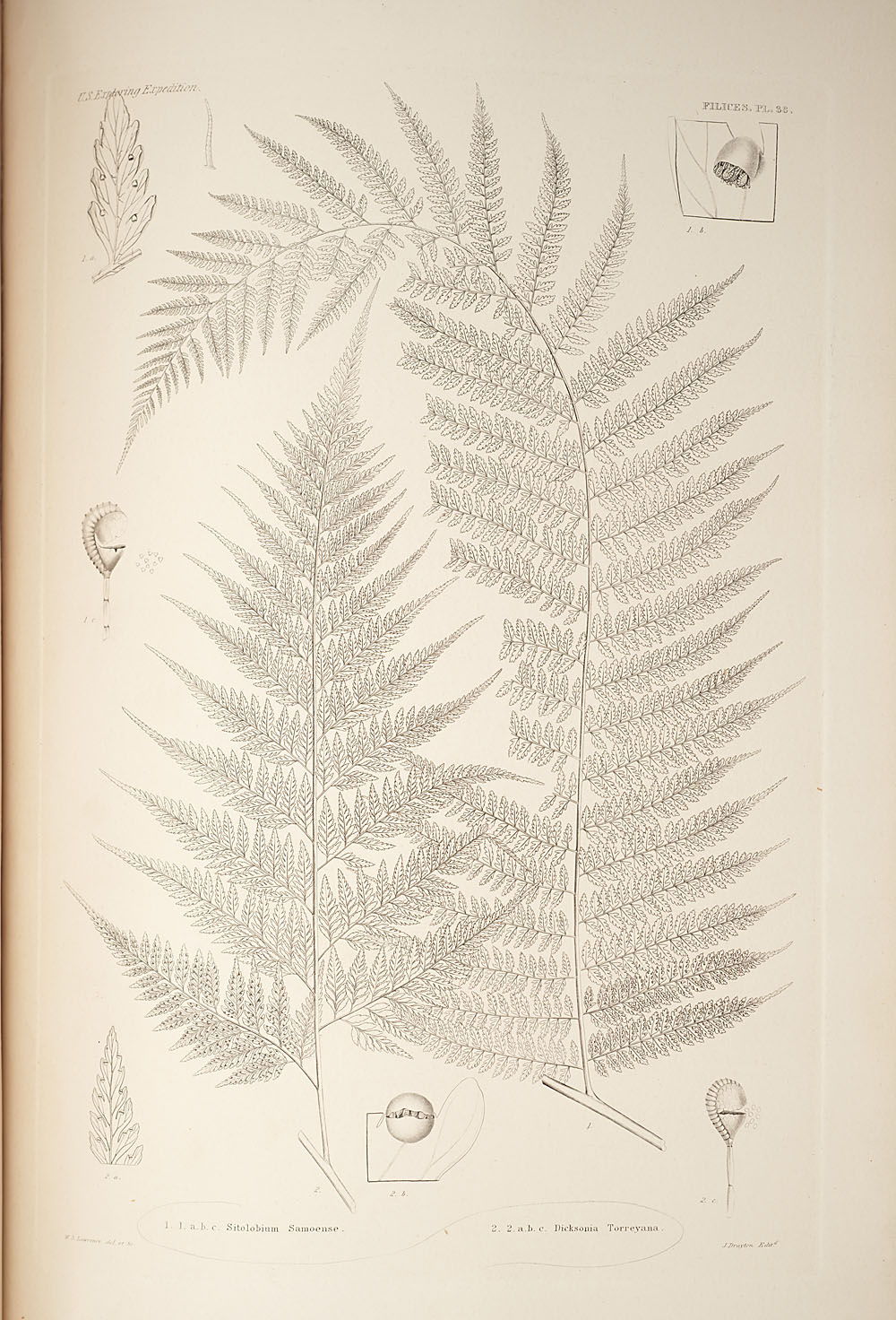Two figures of genera Sitolbium and Dicksonia,  Image number:SIL19-24a-050