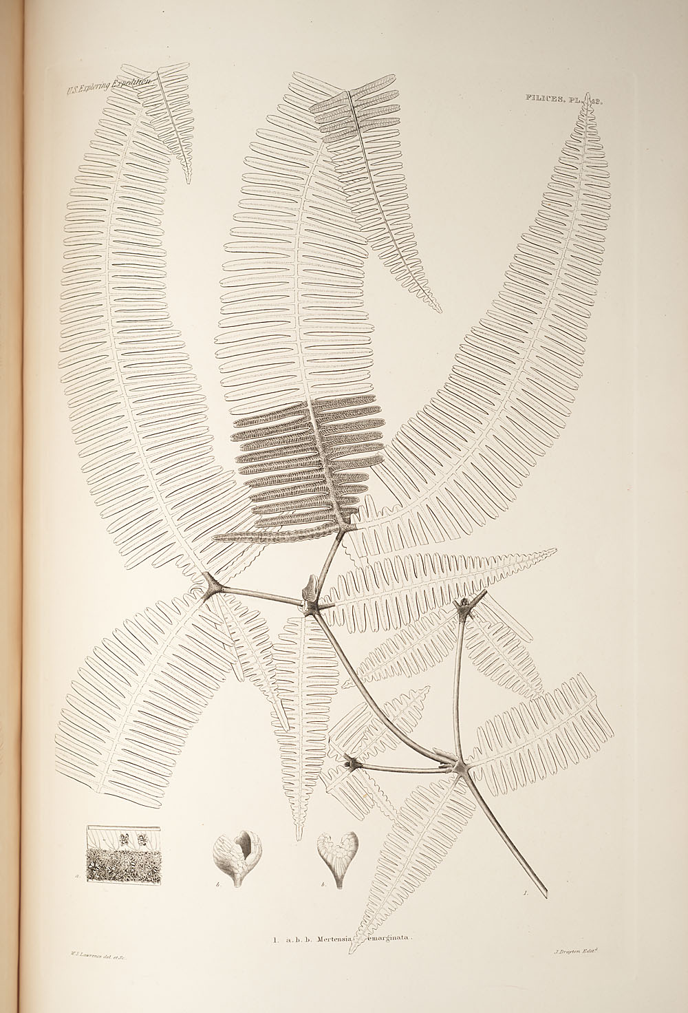 Fig. 1. Mertensia emarginata,  Image number:SIL19-24a-054