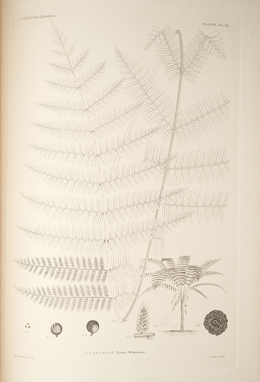 Fig. 1. Todea wilkesiana,  Image number:SIL19-24a-055