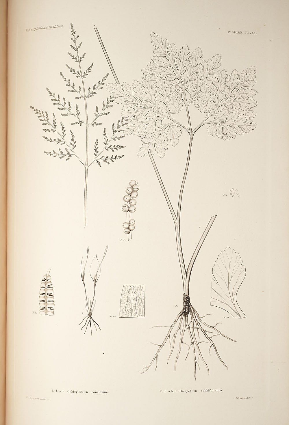 Two figures of genera Ophioglossum and Botrychium,  Image number:SIL19-24a-056