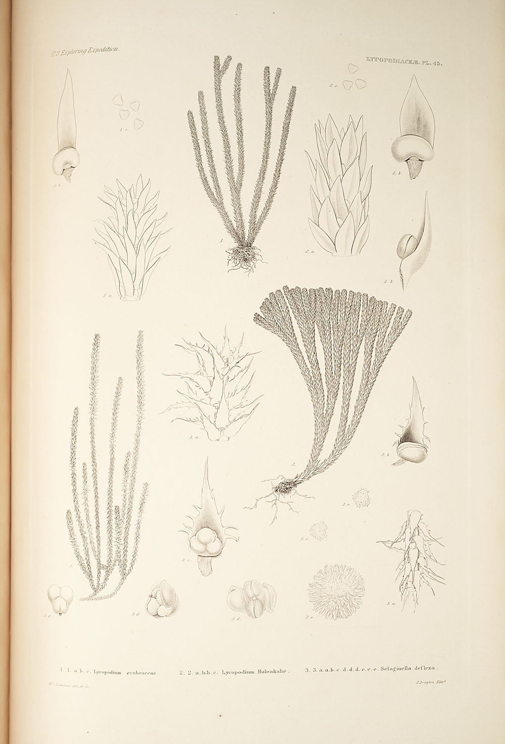 Three figures of genera Lycopodium and Selaginella,  Image number:SIL19-24a-057
