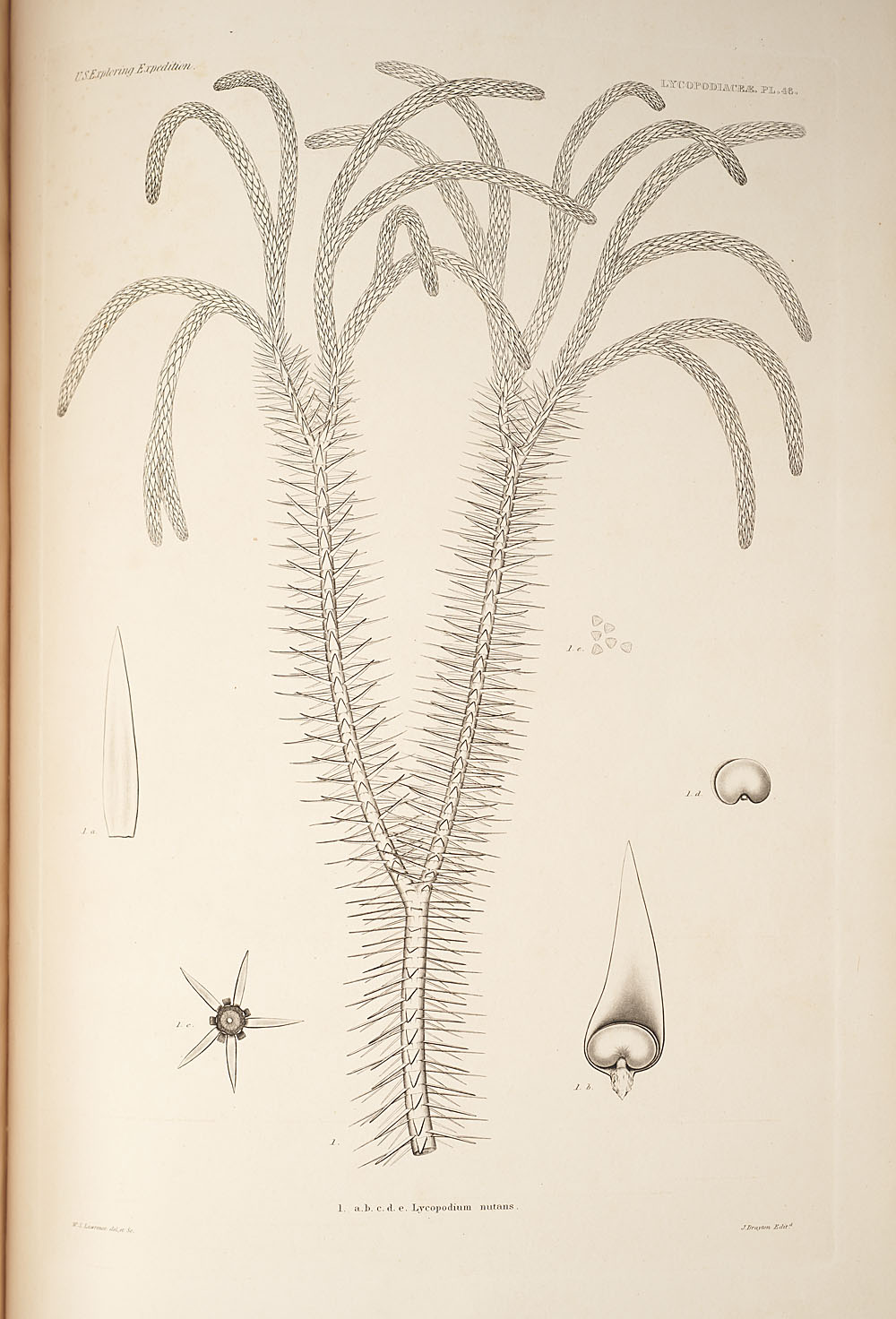 Fig. 1. Lycopodium nutans,  Image number:SIL19-24a-058