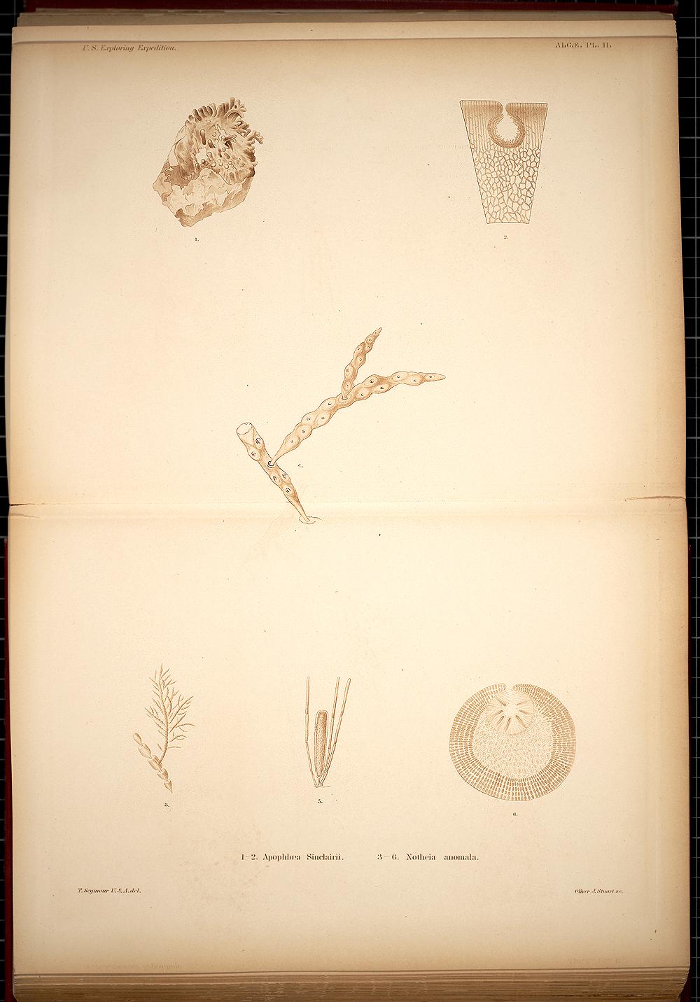 Algae, Plate II,  Image number:SIL19-28-003