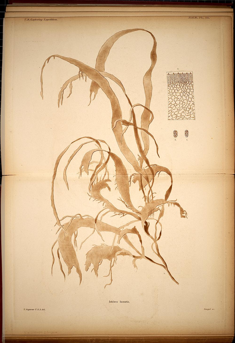 Algae, Plate III,  Image number:SIL19-28-005