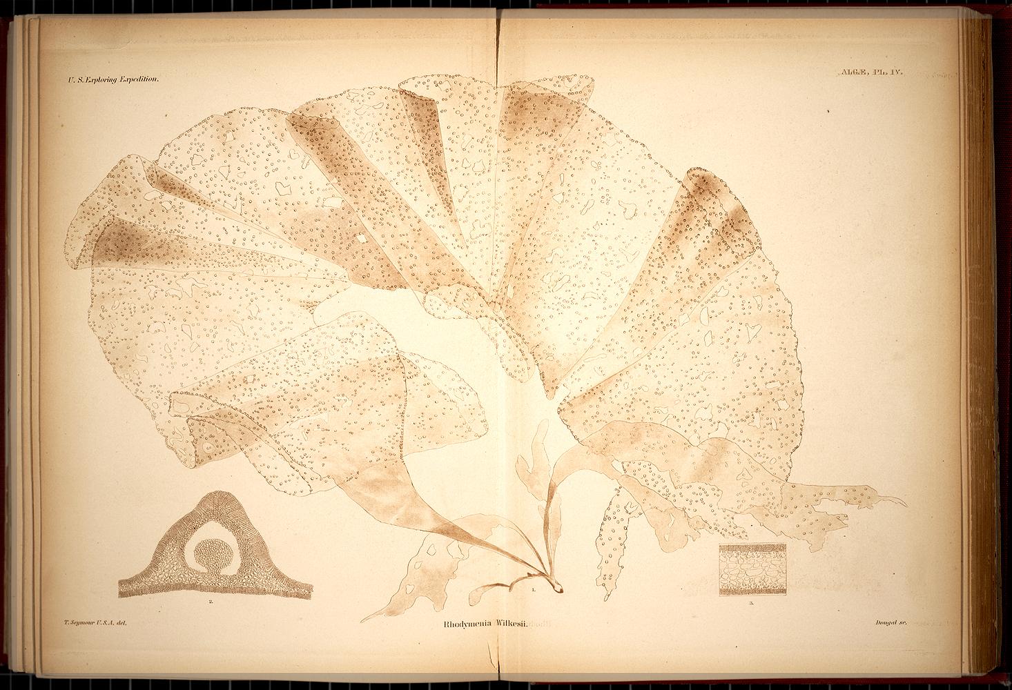 Algae, Plate IV,  Image number:SIL19-28-007
