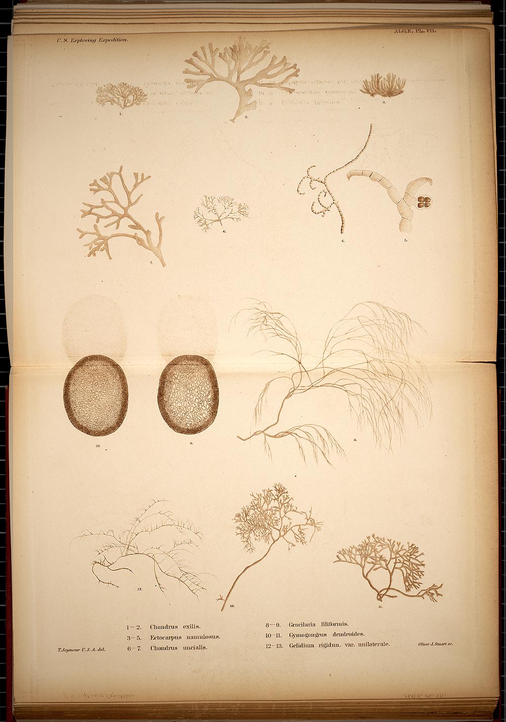Algae, Plate VII,  Image number:SIL19-28-013
