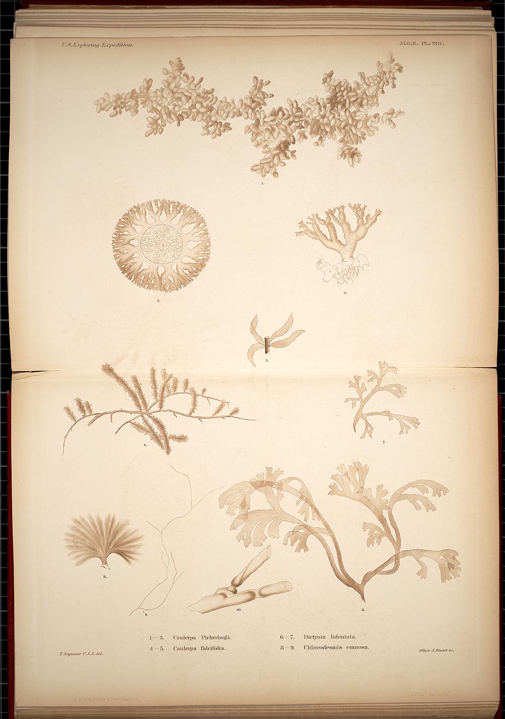 Algae, Plate VII,  Image number:SIL19-28-015