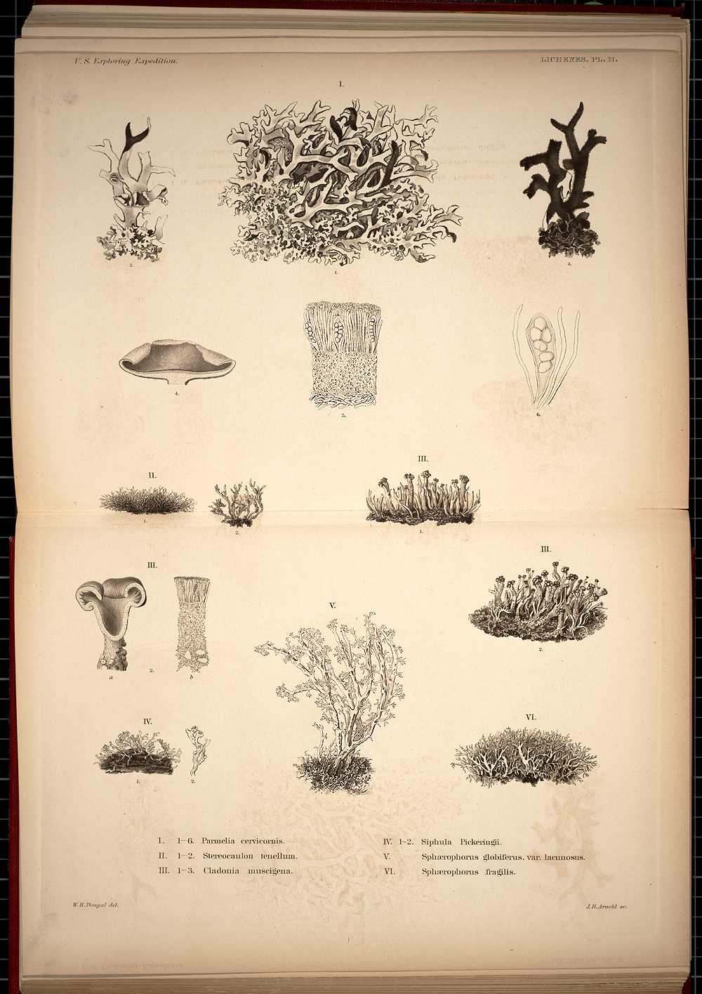 Lichenes, Plate II,  Image number:SIL19-28-021