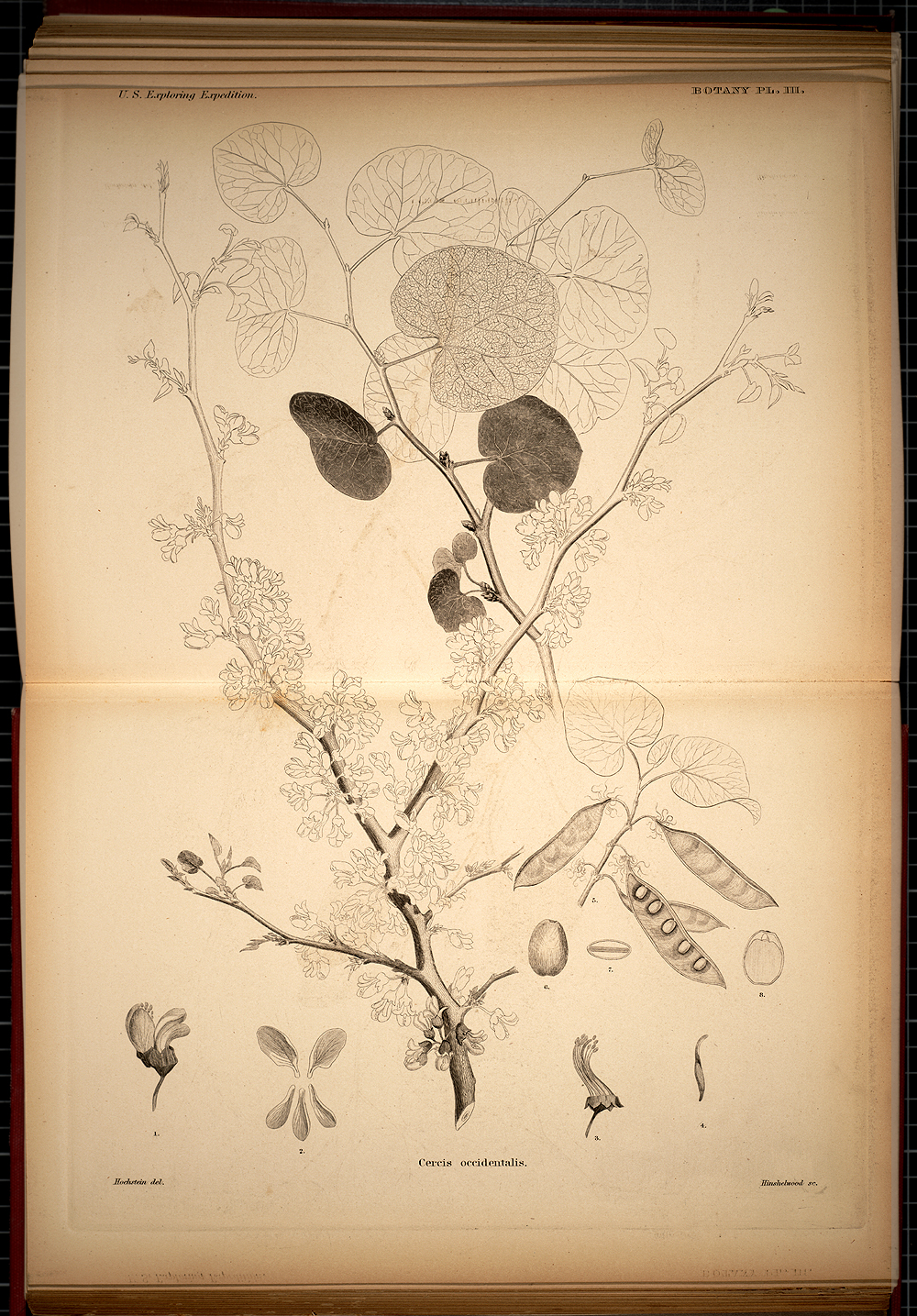 Botany, Plate III,  Image number:SIL19-28-029