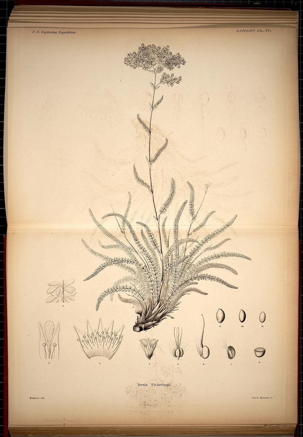 Botany, Plate IV,  Image number:SIL19-28-031