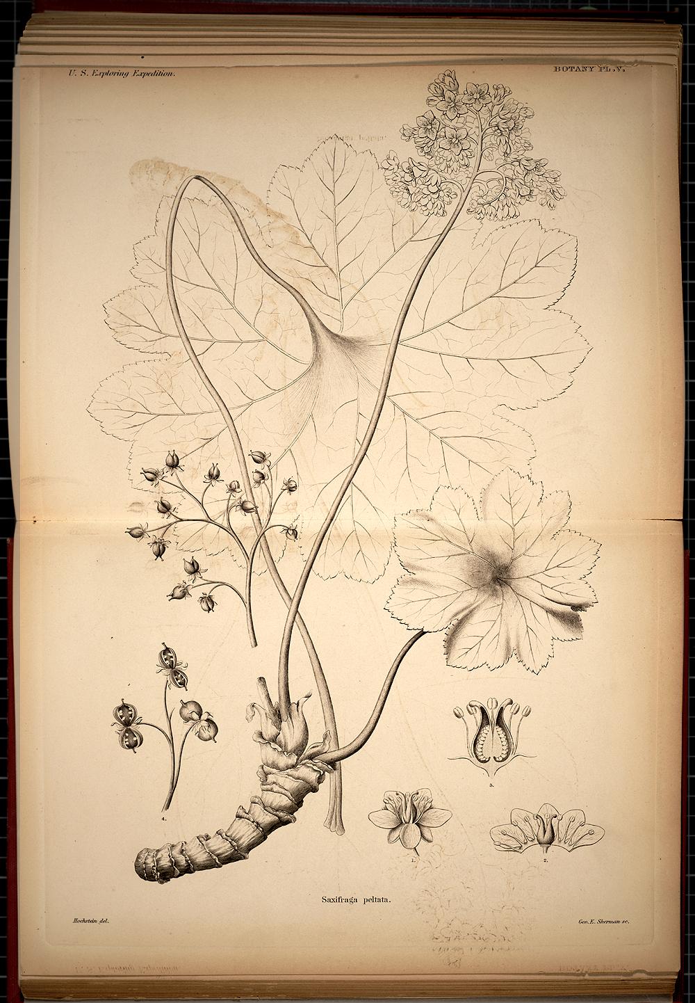 Botany, Plate V,  Image number:SIL19-28-033