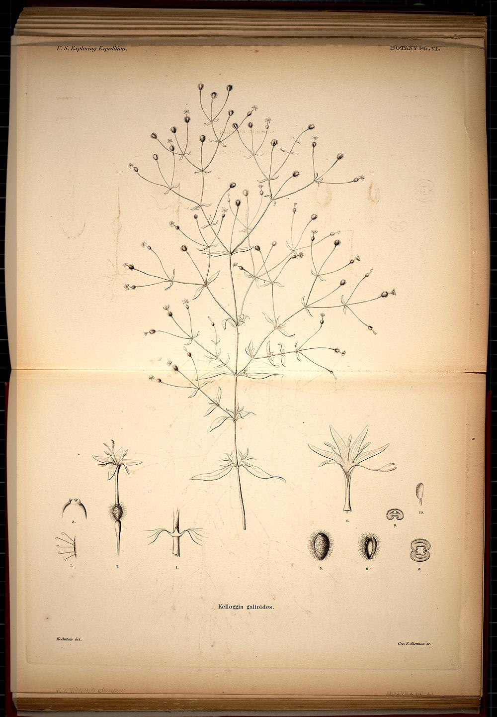 Botany, Plate VI,  Image number:SIL19-28-035