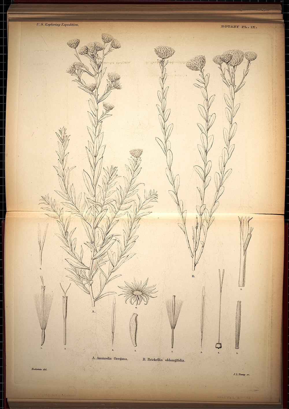 Botany, Plate IX,  Image number:SIL19-28-041