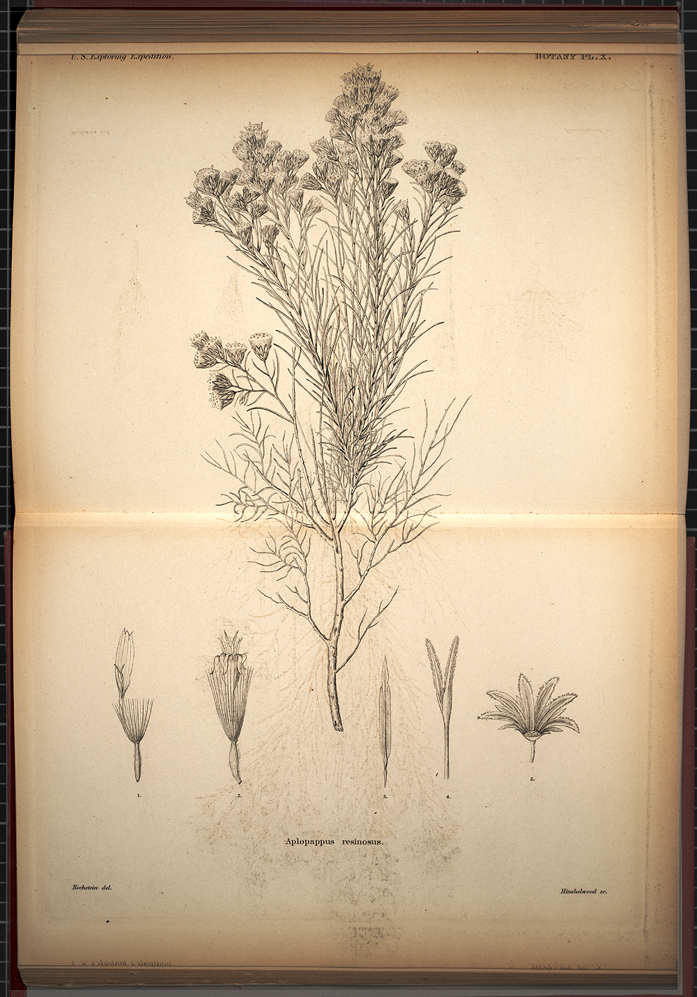 Botany, Plate X,  Image number:SIL19-28-043
