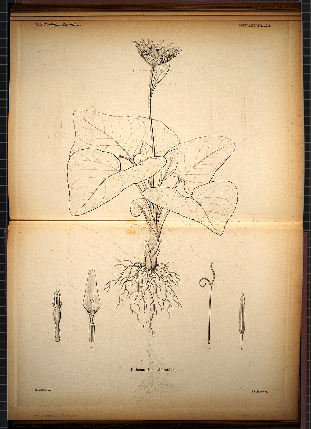 Botany, Plate XI,  Image number:SIL19-28-045