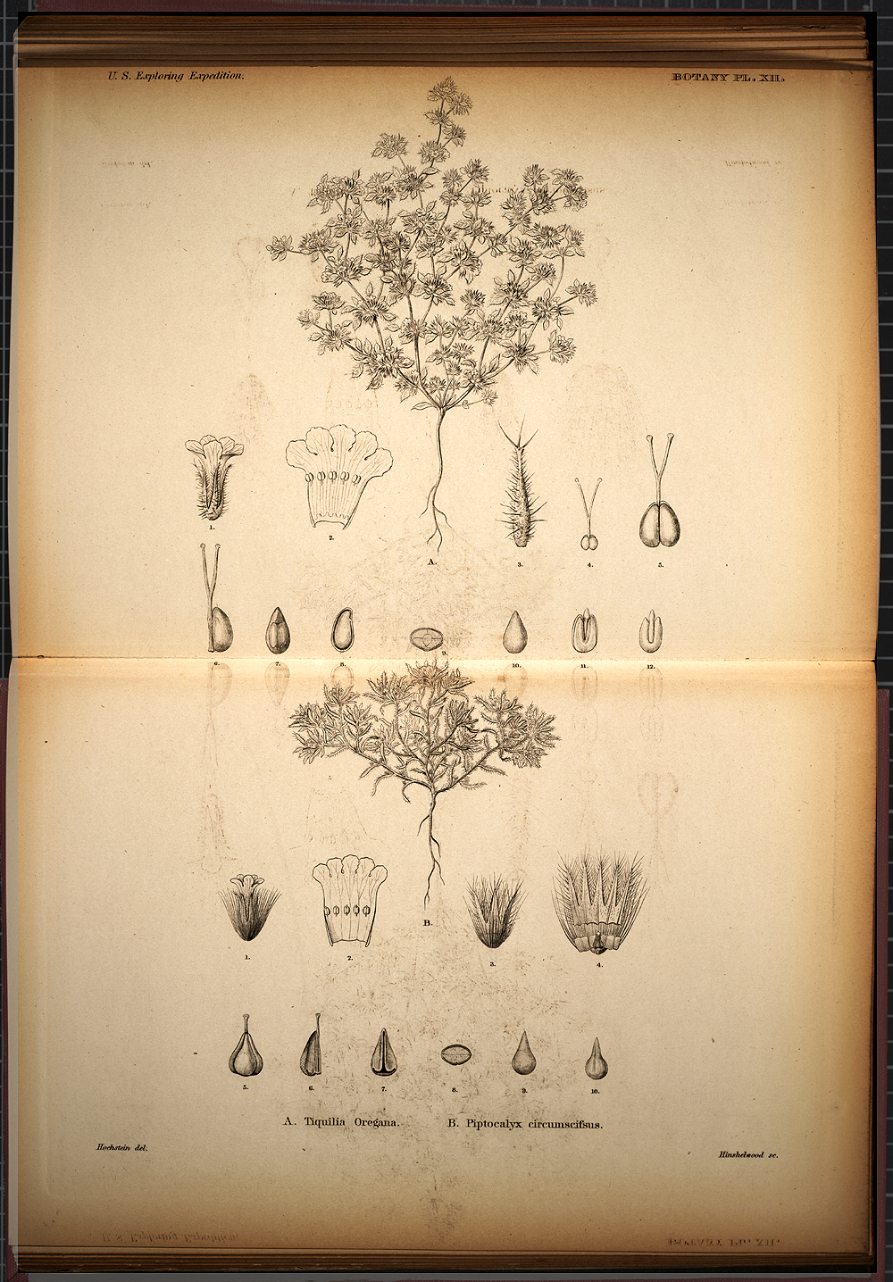 Botany, Plate XII,  Image number:SIL19-28-047