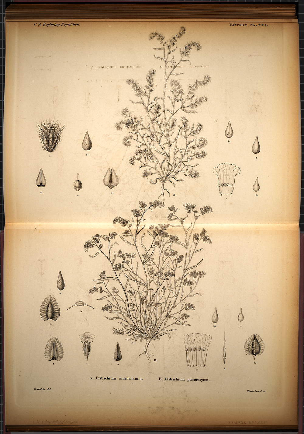 Botany, Plate XIII,  Image number:SIL19-28-049