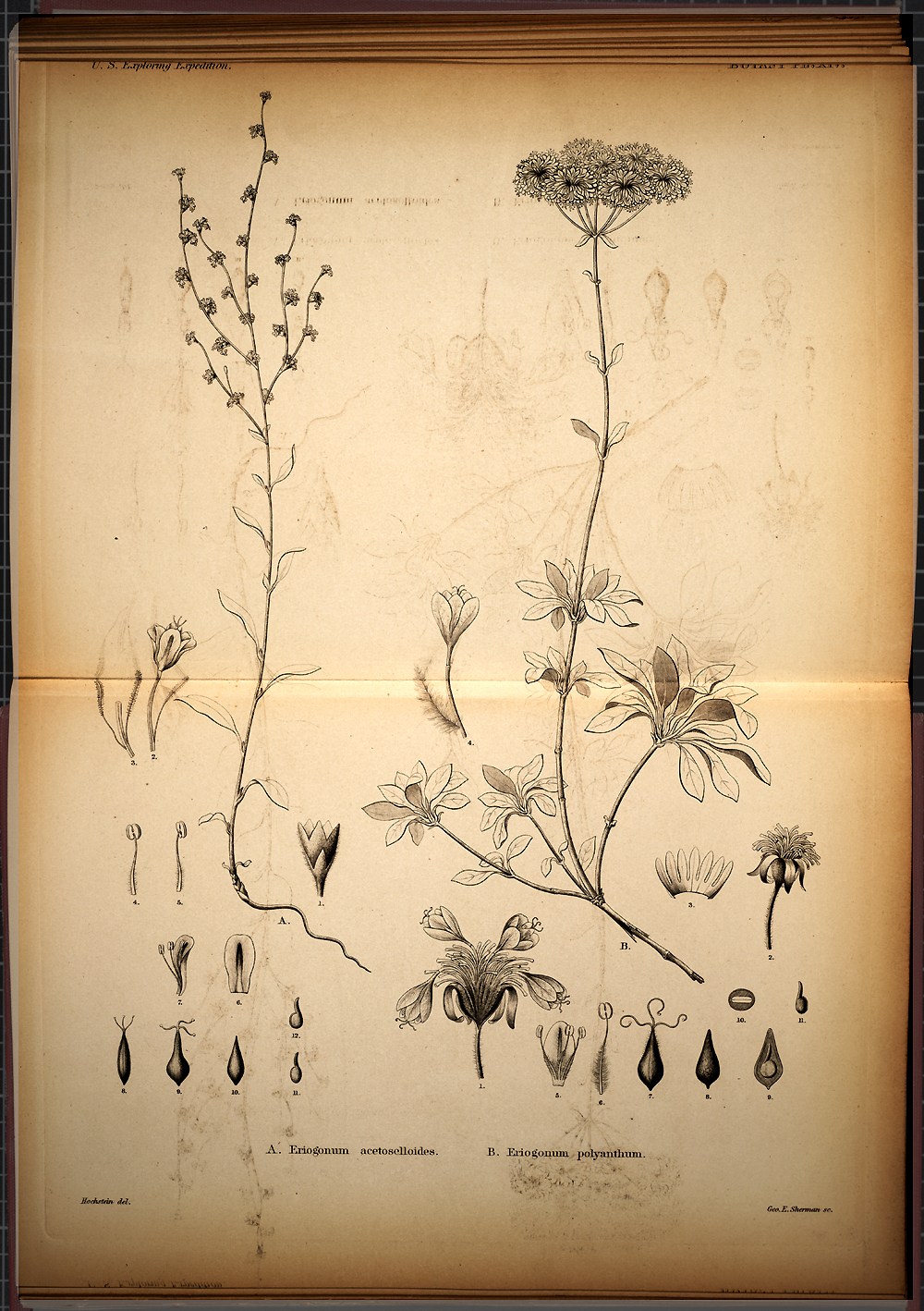 Botany, Plate XIV,  Image number:SIL19-28-051