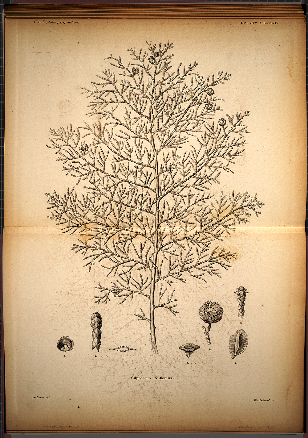 Botany, Plate XVI,  Image number:SIL19-28-055