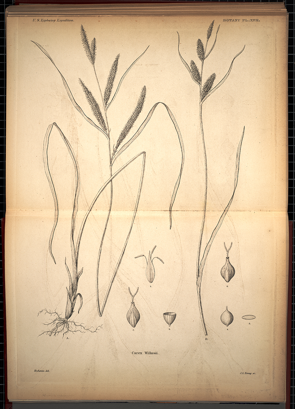 Botany, Plate XVII,  Image number:SIL19-28-057