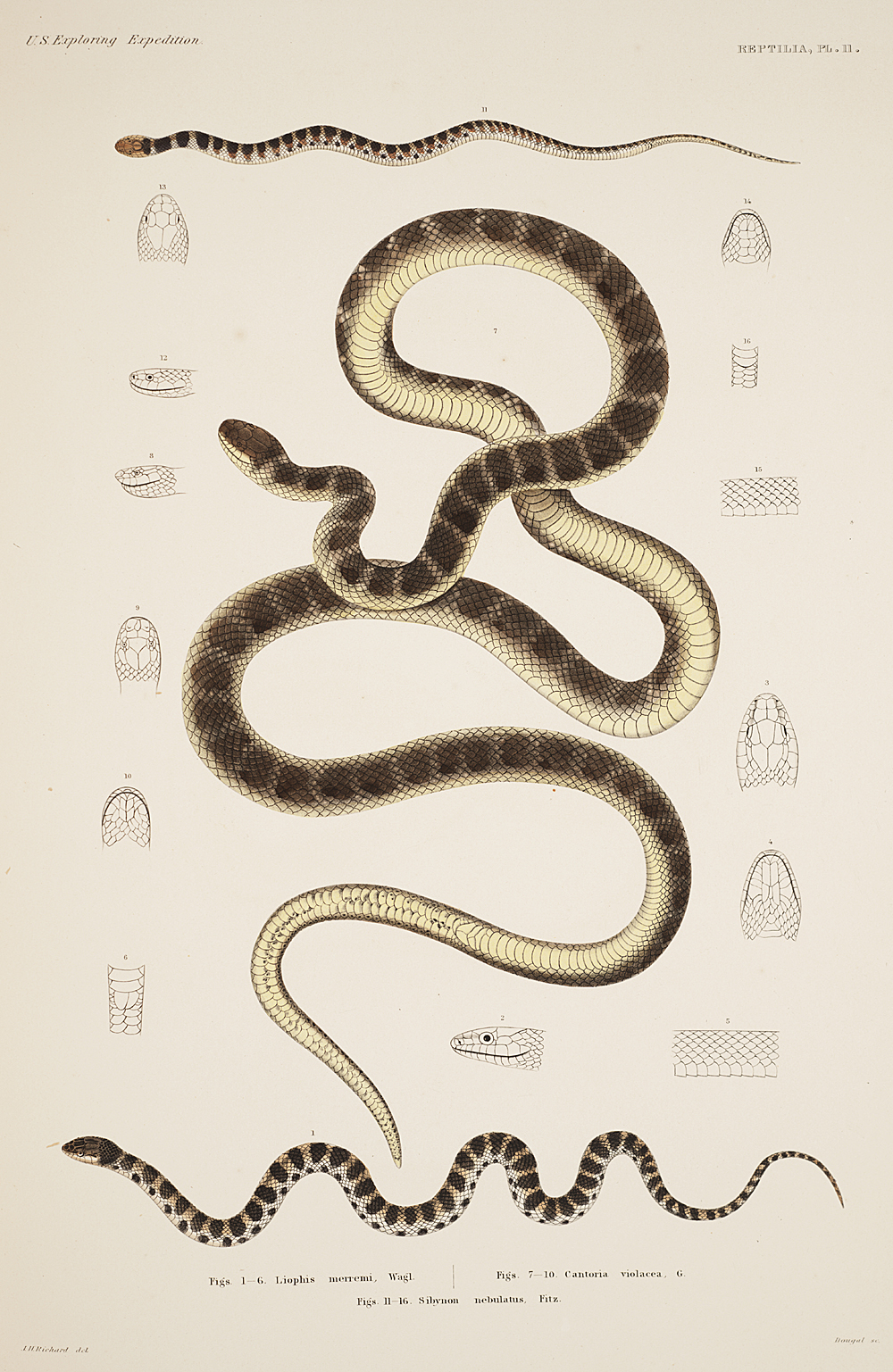 Reptilia, Plate 11,  Image number:sil19-31-041b