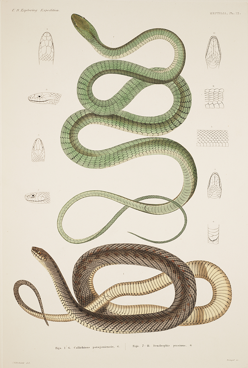 Reptilia, Plate 12,  Image number:sil19-31-043b