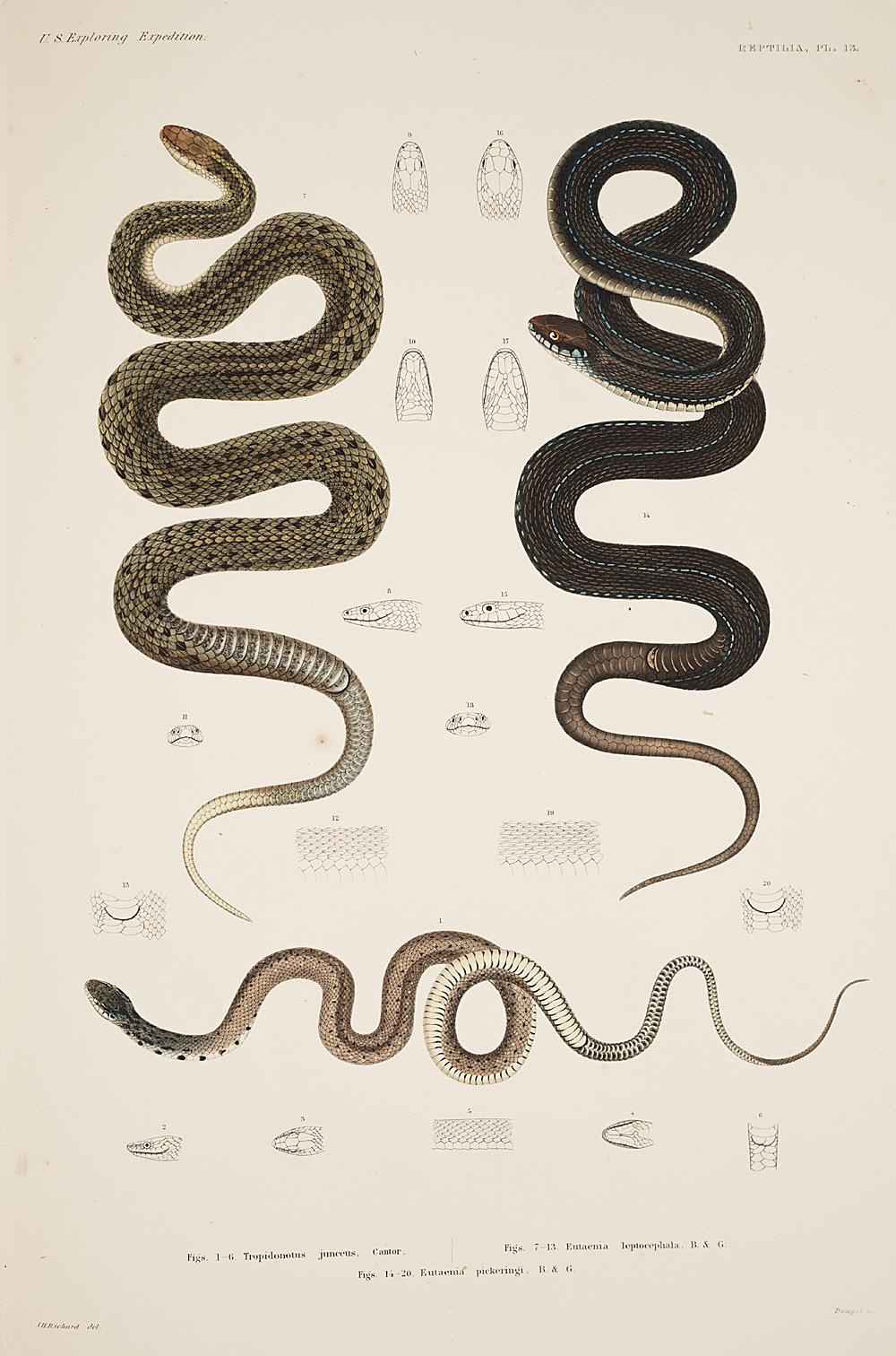 Reptilia, Plate 13,  Image number:sil19-31-045b