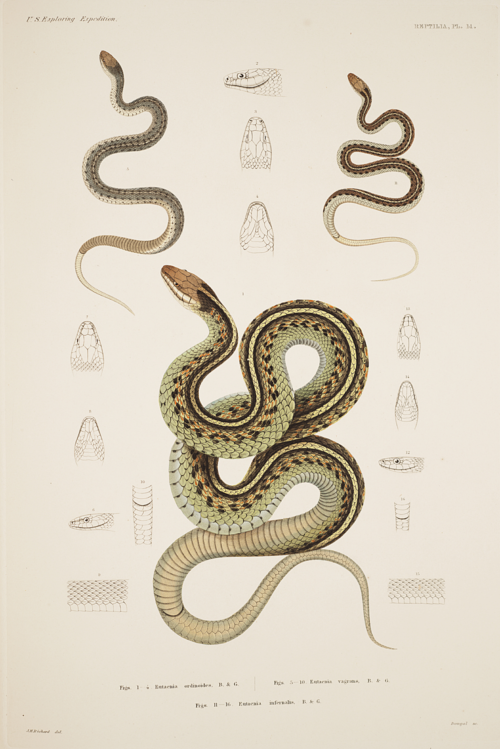 Reptilia, Plate 14,  Image number:sil19-31-047b