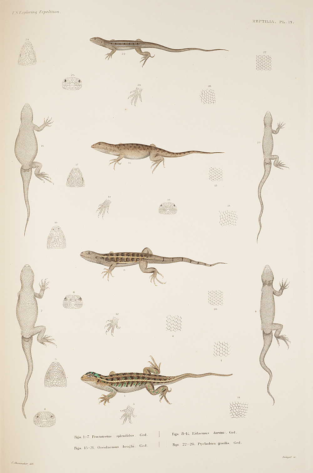Reptilia, Plate 17,  Image number:sil19-31-053b