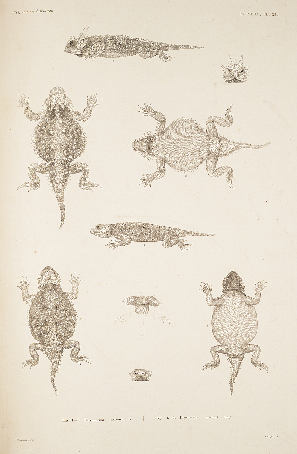 Reptilia, Plate 21,  Image number:sil19-31-061b